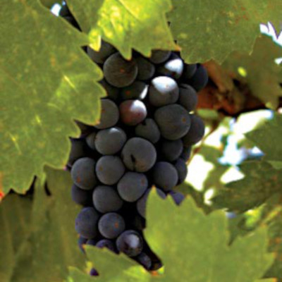 Considered one of the oldest grape varieties